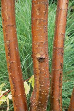 Mandchurian Cherry, Rinde, Shrubs and Palms, Stem, Tree trunk