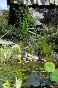 Biotope, flatsedge (Genus), Nelumbo (Genus), Ornamental Grasses, pond, silvergrass (Genus), waterlily (Genus)