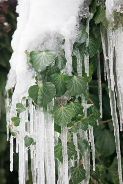 Eiszapfen, impression, ivy (Genus), Winter impression, Winter, Winterzauber, Winterzeit