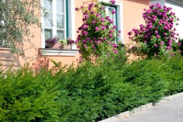 Buxus (Genus), Haus, Hauswand, House entrance, Mixture (Mix), rambler, Rosa (Genus), Taxus baccata, Willow Leafed Pear