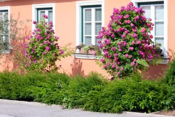 Haus, Hauswand, rambler, Rosa (Genus), Taxus baccata, Willow Leafed Pear