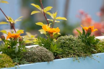 Chelsea Flower Show 2013, Soleirolia (Genus), Tagetes (Genus), window box
