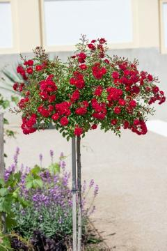long stemmed rose, long stemmed