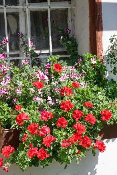 annuals, Fensterschmuck, Mixture (Mix), Pelargonium (Genus), petunia (Genus), window box, window