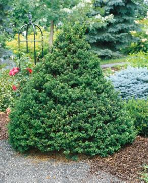 Coniferes, Taxus baccata, yew (Genus)