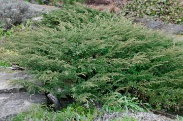 Bodendecker, Common Juniper, Juniperus (Genus)