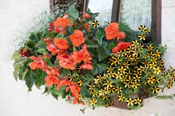 annuals, begonia (Genus), Fensterschmuck, petunia (Genus), spurge (Genus), window box, window