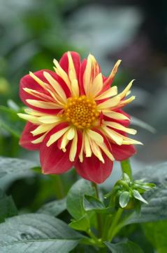 Bulb, dahlia (Genus), single flower