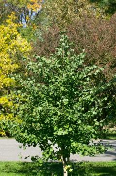 Habitus, Maidenhair Tree, Nadelgehölz
