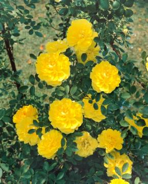 old rose, Shrub rose