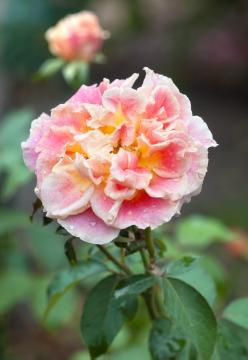 Hybrid Tea, rose (Genus), single flower
