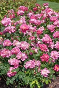 English Rose, Shrub rose