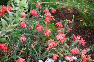 Erica cerinthoides, heath (Genus), Plants for Acid Soil