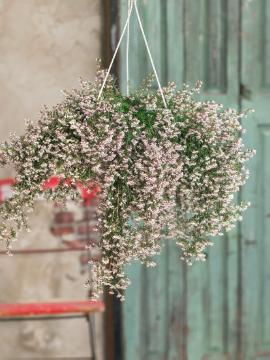Black-Eyed Heather, hanging flower basket, heath (Genus), Plants for Acid Soil