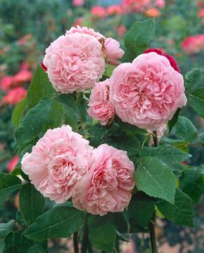 Damask Rose, Rosa gallica