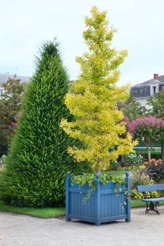 Maidenhair Tree, Plant container «Accessories in the Garden», Taxus baccata, yew (Genus)