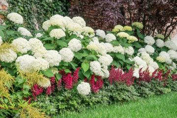 false goat's beard (Genus), flower bed, hydrangea (Genus), planting, Prunus (Genus)