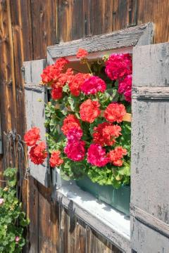Bauernhaus, Fensterschmuck, Pelargonium (Genus), Pelargonium zonale, window box, window