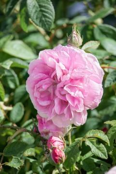 Damask Rose, rambler, rose (Genus), Shrub rose