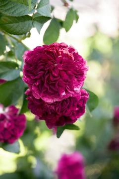 Rosa gallica, rose (Genus), Shrub rose