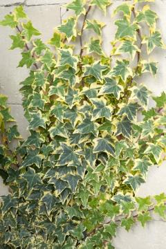 climbing plant, Common Ivy, ivy (Genus)
