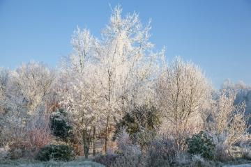 bosk, Coniferes, glazed frost, Pinus sylvestris, Shrubs and Palms, Winter impression, Winter