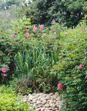Garden scene, Japanese Rose, Ornamental Grasses, Pachysandra (Genus), Perennial garden, rose (Genus), Rose garden, Shrub rose, silvergrass (Genus)