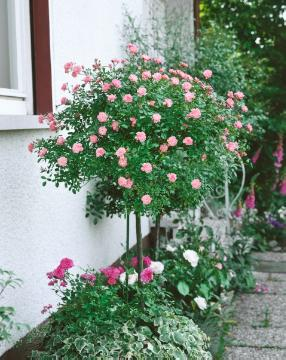 Ground cover rose, long stemmed