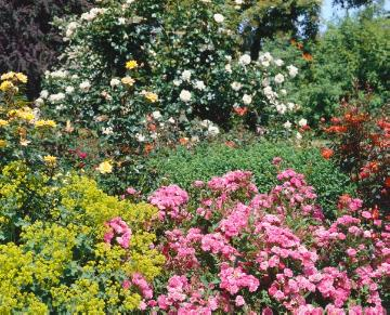 lady's mantle, Miniature rose, rose (Genus), Rose border, Rose garden