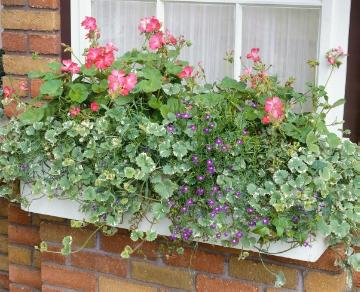 annuals, Einjährige Pflanzen Mischung, lobelia (Genus), Mixture (Mix), Pelargonium (Genus), plectranthus (Genus), window box
