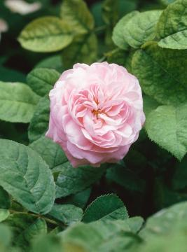 Rosa gallica, rose (Genus)