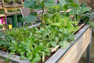 lettuce (Genus), Pickling Cucumber, raised bed, Tomato, turnip cabbage, vegetables bed, vegetables mix, wooden box