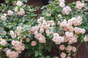 English Rose, rambler