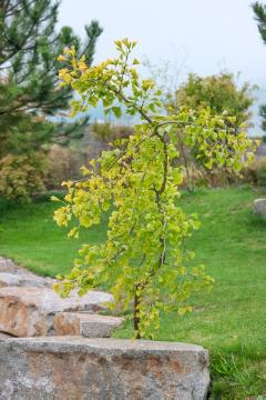 Conifer, Ginkgo (Genus), Maidenhair Tree