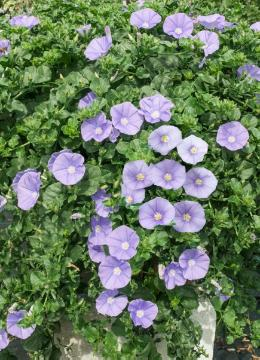 Field Bindweed (Genus), Ground Morning Glory, Perennials