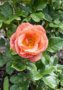 Rosa Grandiflora, single flower