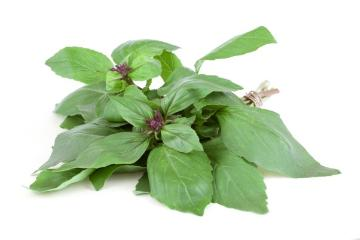Ocimum basilicum Cinnamon, Spice plant, white background