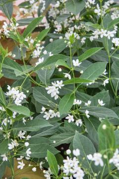 Perennials, swallow-wort (Genus)