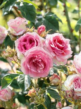 Hybrid Tea, Shrub rose