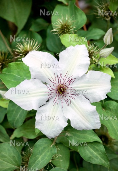 N0402044 Clematis Wedding Day