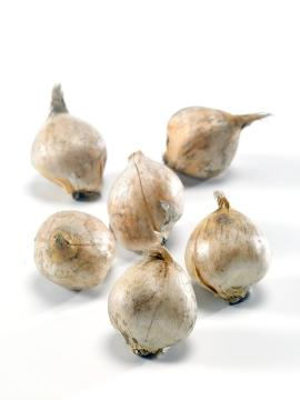 Bulb, onion (Genus), white background