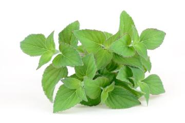 sage (Genus), Salvia elegans Honeymelon, Salvia elegans, Spice plant, white background