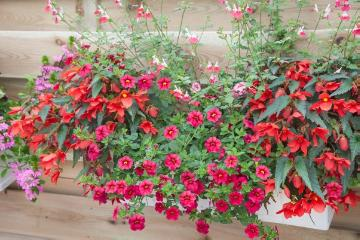 annuals, begonia (Genus), calibrachoa (Genus), Einjährige Pflanzen Mischung, Mixture (Mix), petunia (Genus), sage (Genus), window box