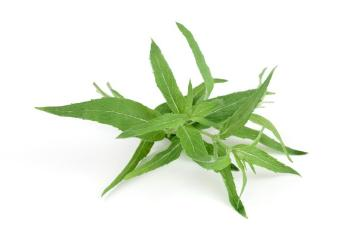 Mentha longifolia ssp. capensis, Spice plant, white background