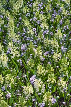 Bulb and corm, Frühlingsblüher, Hyacinthus (Genus), Mixture (Mix), Scilla (Genus)