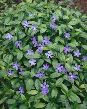 Bodendecker, Vinca minor