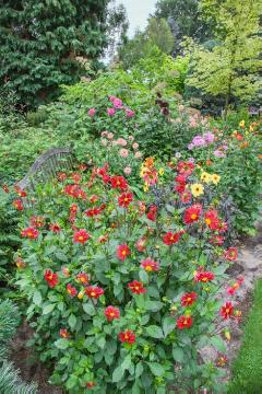 dahlia (Genus), flower bed, Mixture (Mix)