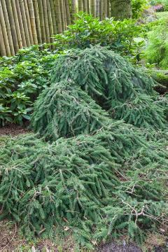 Conifer, Picea abies, spruce (Genus)