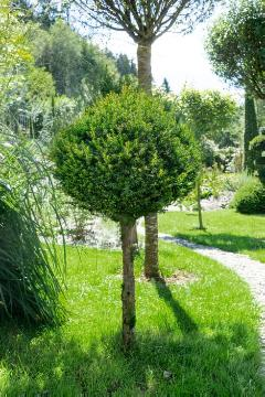 long stemmed, Taxus baccata