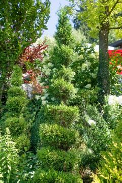 Thuja occidentalis, topiary pruning